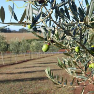 Taralinga Estate Extra Virgin Olive Oil 500ml